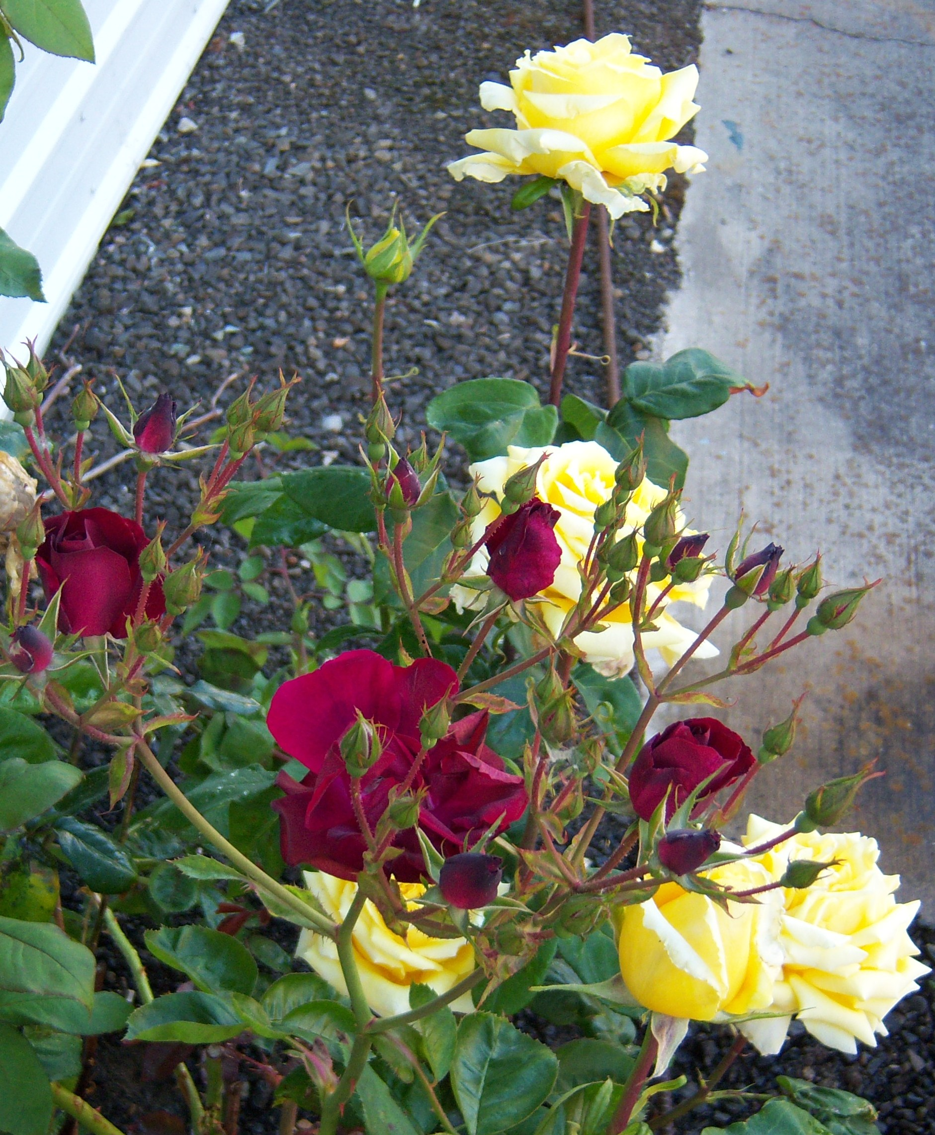 06-13-11The Red Roses Midst the Yellow Roses